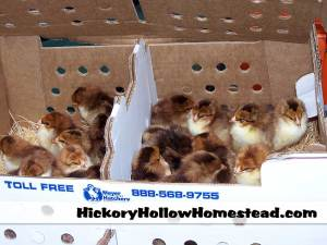 Boxed Speckled Sussex chicks from Meyer Hatchery.