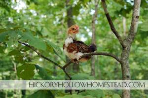 4 Week Old Speckled Sussex Rooster On A Tree Limb