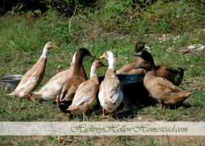 A bevy of ducks around a water pan.