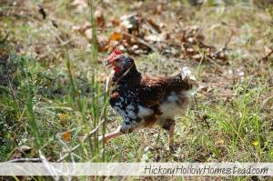 speckled-sussex-chicken-on-the-run