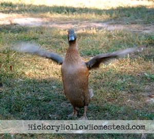 Khaki Campbell drake flapping wings.