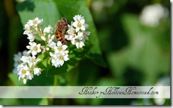 bee-on-buckwheat