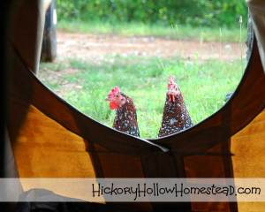 chickens-by-tipi-door