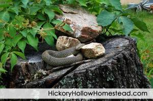 Speckled Kingsnake On Stump 1